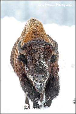 1-Buffalo in Snow 1.jpg
