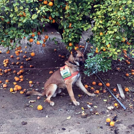 How trained dogs are successfully helping detect diseases in citrus trees
