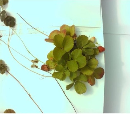 How Cal Poly's Strawberry Center is Using Time-Lapse Photography for Automation Research