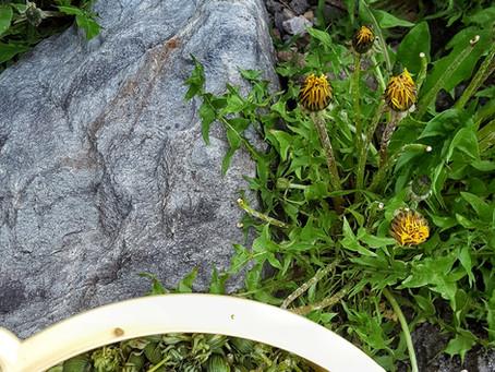 Dandelion capers.