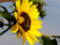 Sunflower..jpg