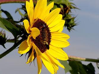 Sunflower..jpg