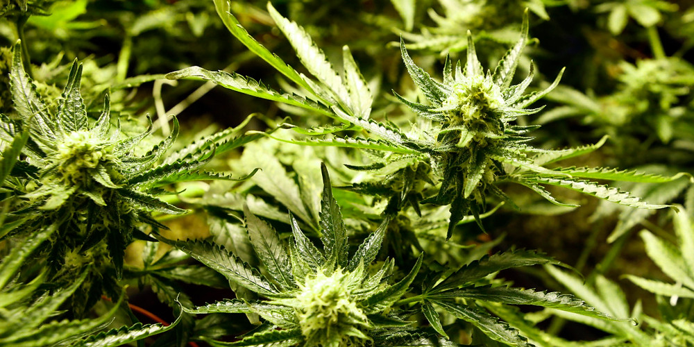 California Medical Marijuana Patients Recomemndation / Card