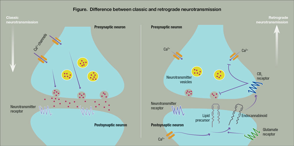 Figure: Difference between classic and retrograde neurotransmission