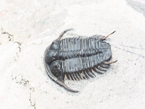 Cyphaspides pankowskiorum