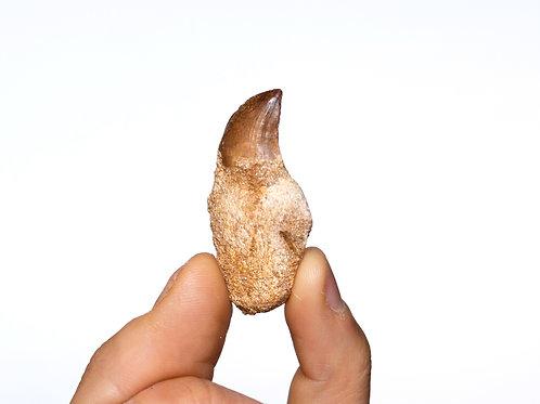 Mosasaurus (Leiodon) anceps
