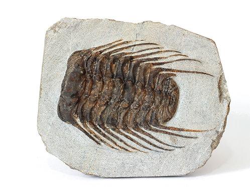 Trilobite Selenopeltis