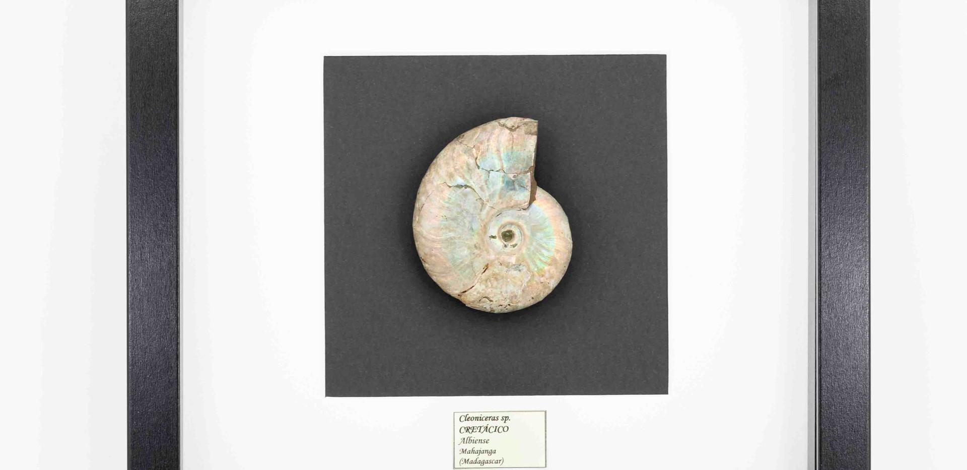 Cleoniceras sp. presentado en marco