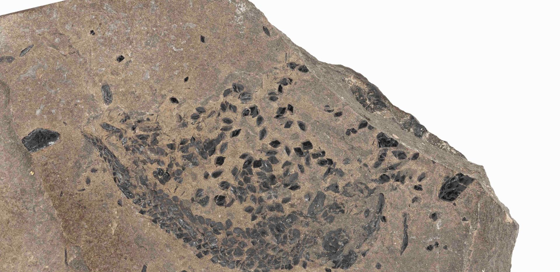 Osteolepis panderi