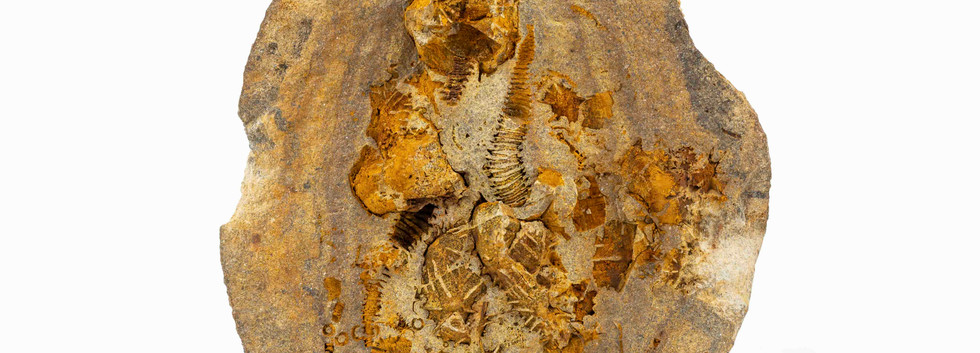 Macrocystella bohemica