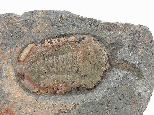 Symphusurus sp. con antena