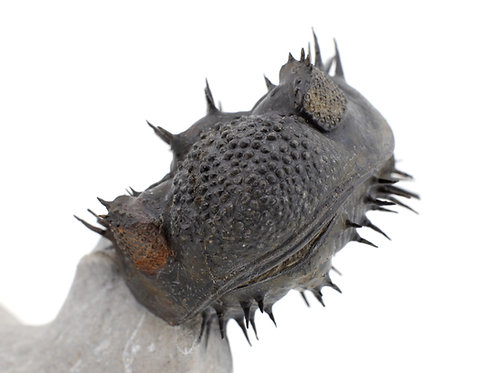 Trilobite Drotops armatus