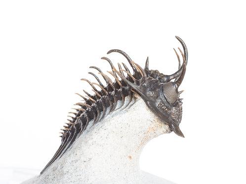Trilobite Comura bultyncki