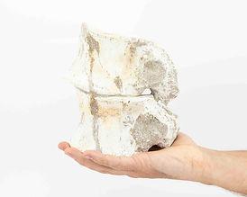 Vértebra de Plesiosaurio