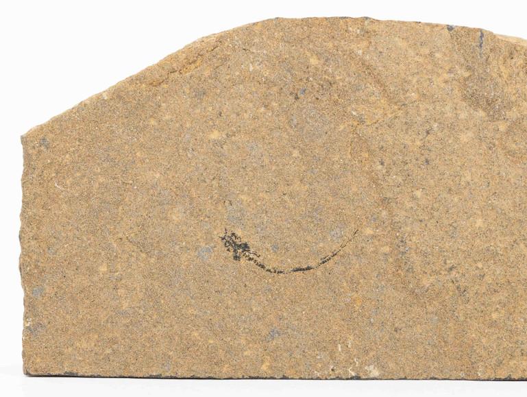 Paleospondylus gunni