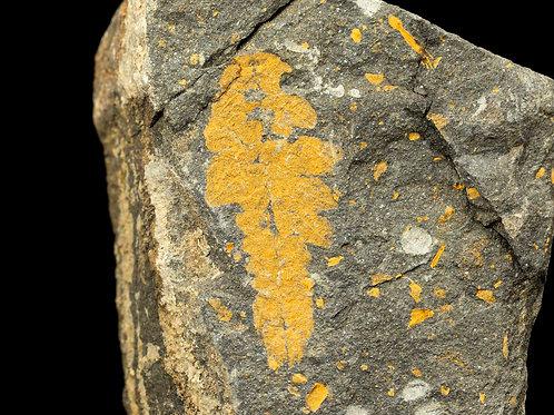 Plumulites tafennaensis