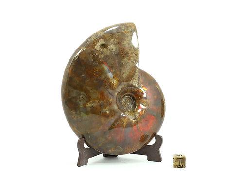 Cleoniceras besairei (Opal Ammonite)