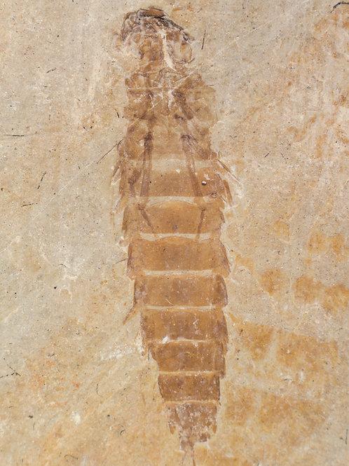 Ephemeropsis trisetalis