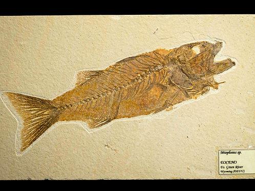 Mioplosus sp.