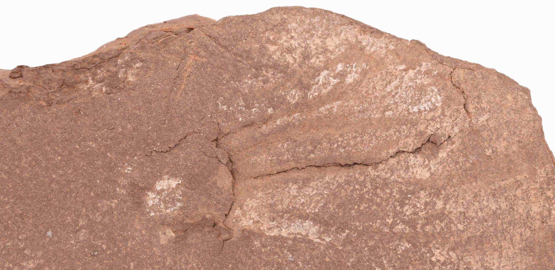 Icnita de anfibio Salichnium deccesus