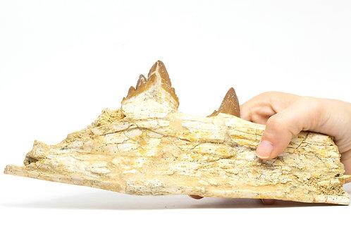 Basilosaurus sp. (Zeuglodon)