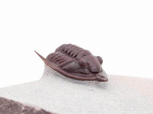 Diademaproetus antatlasius rojo