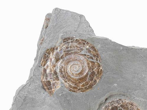 Psiloceras planiforbis
