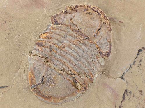 Symphusurus sp.
