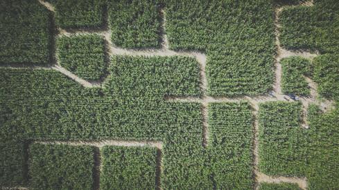 Maislabyrinth auf der Pabstwiese