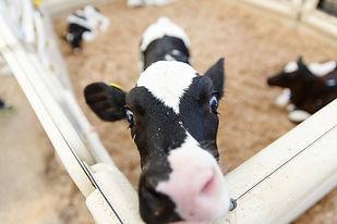 cow farm.jpg
