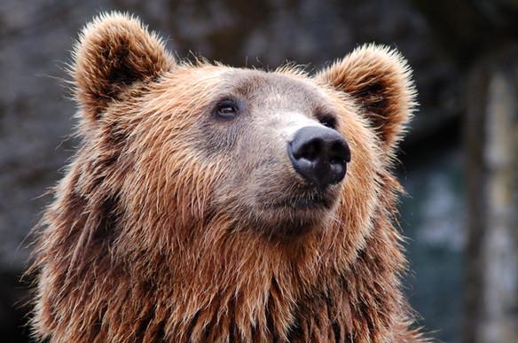 Bearly Walkin'