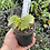 Thumbnail: Begonia sutherlandii