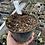 Thumbnail: Hedychium 'Gold Spot'