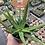 Thumbnail: Aloe 'Safari Sunrise'