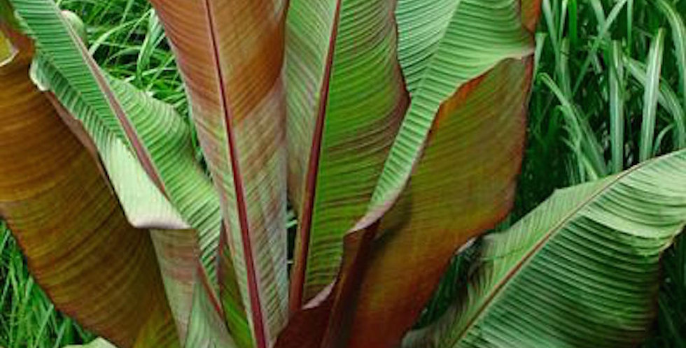 Ensete ventricosum maurelii one of our Jungle plants for sale