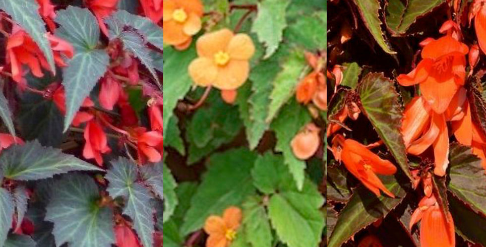 Begonia trailing collection