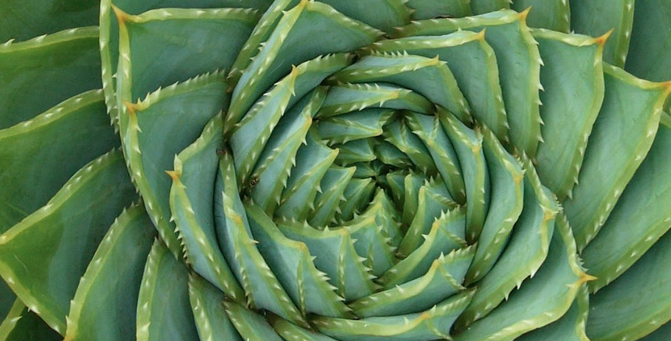 Aloe polyphylla (Available to Pre-Order)