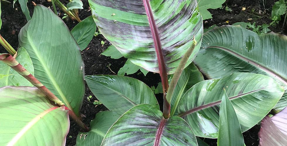 Musa sikkimensis jungle plant
