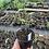 Thumbnail: Hedychium densiflorum