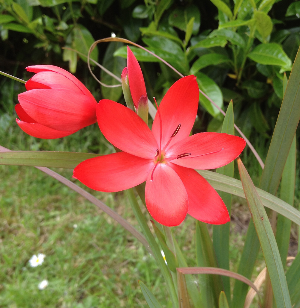 Hesperantha coccinea 'Major' flowering