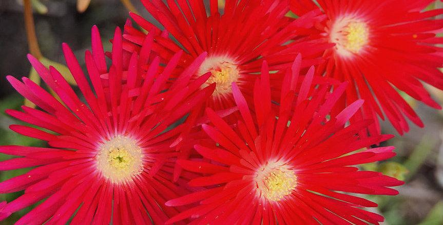 Lamparanthus 'Tresco Red'