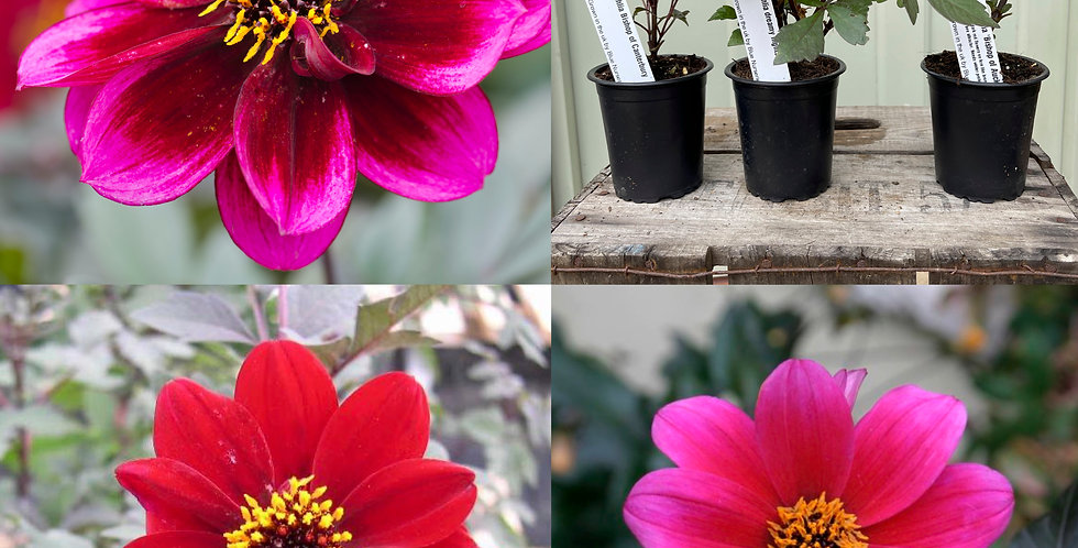 The Dahlia Collection 'Bee Friendly'