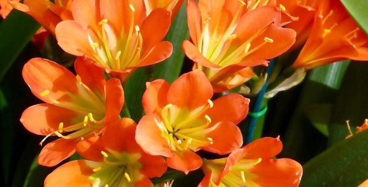 Clivia miniata 'Orange'