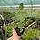 Thumbnail: Ficus carica 'Brown Turkey'