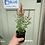 Thumbnail: Agastache x hybrida 'Arizona Sandstone'