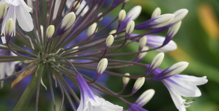 Agapanthus fireworks in flower