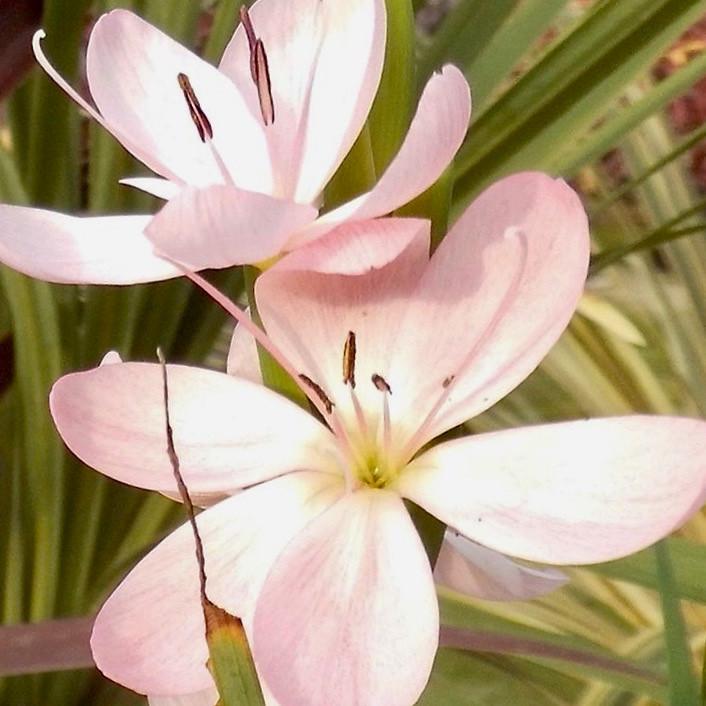 "Hesperantha coccinea  ""Mollie Gould' flowering"