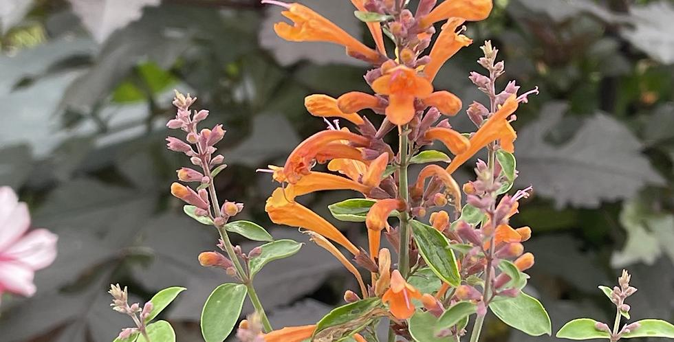 Agastache x hybrida 'Arizona Sandstone'