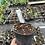 Thumbnail: Hedychium griffithianum