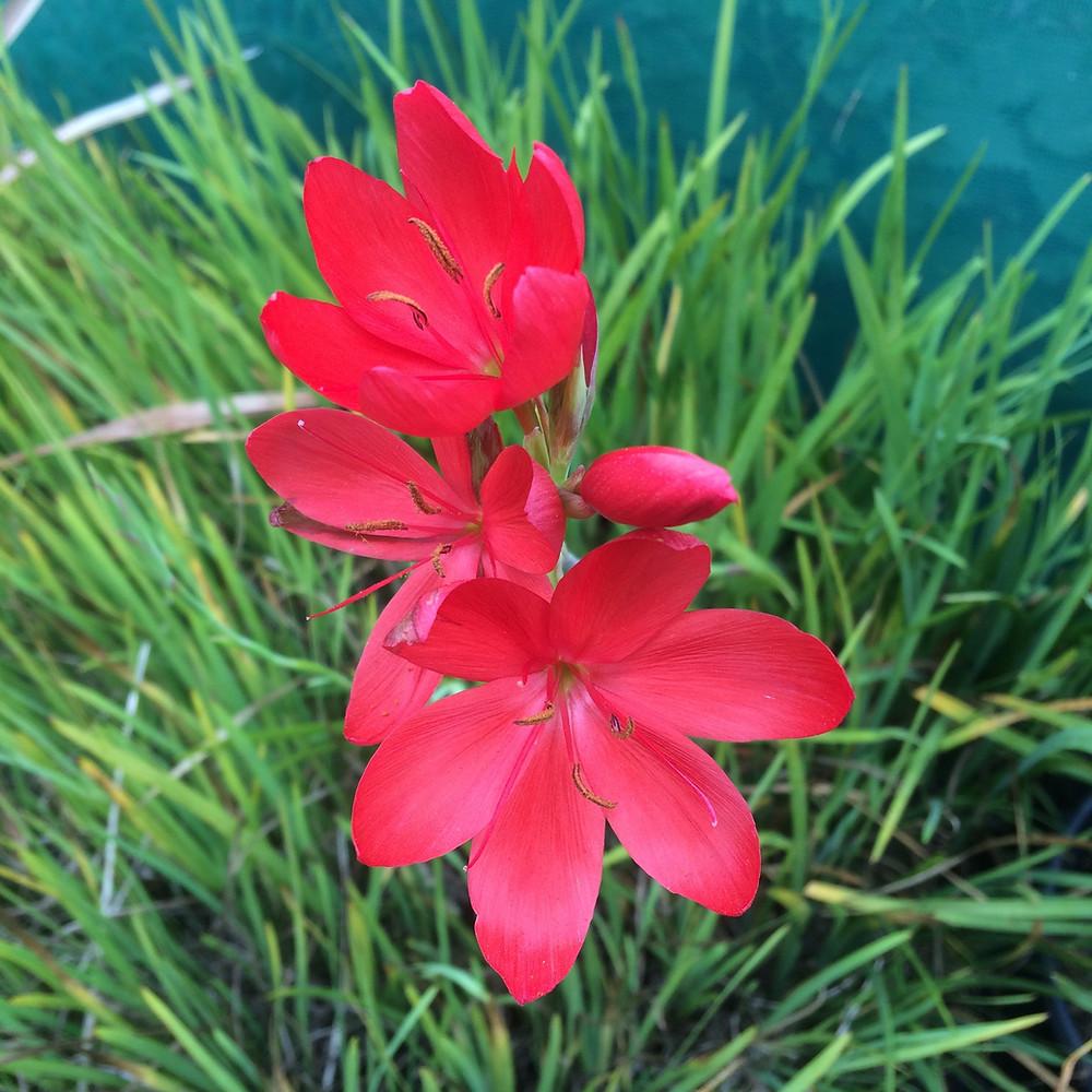 Hesperantha flowering